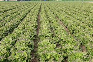 Camp agrícola enciams pla de grau