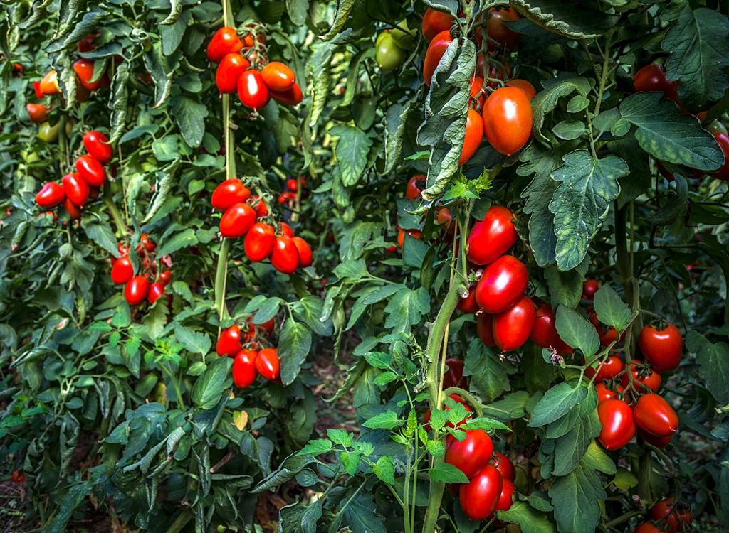 6-tomaquets